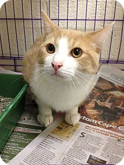 Domestic Shorthair Cat for adoption in Warren, Michigan - Angel