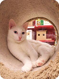 Domestic Shorthair Cat for adoption in Fountain Hills, Arizona - TANGO