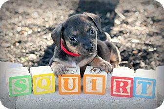 Dachshund Mix Puppy for adoption in Austin, Texas - Squirt