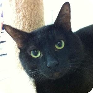 Domestic Shorthair Cat for adoption in Gilbert, Arizona - Pokey