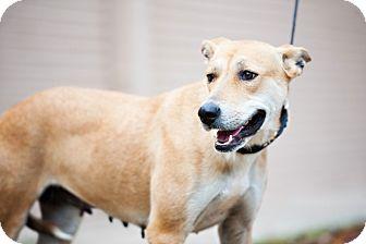 Shepherd (Unknown Type)/Labrador Retriever Mix Dog for adoption in Houston, Texas - Violet