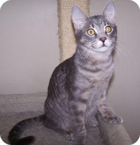 Domestic Shorthair Kitten for adoption in Colorado Springs, Colorado - K-Gloria4-George
