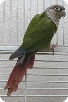 Conure for adoption in Benbrook, Texas - Lyric