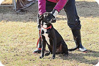 Labrador Retriever/Hound (Unknown Type) Mix Dog for adoption in Natchitoches, Louisiana - Barron