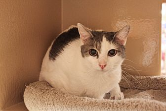 Domestic Shorthair Cat for adoption in Smyrna, Georgia - Sally