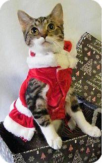 Domestic Shorthair Kitten for adoption in Hillside, Illinois - Merry