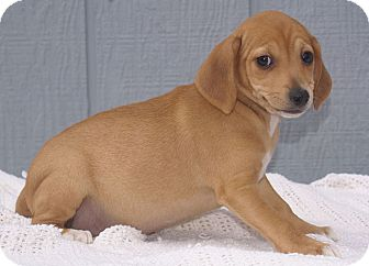 Beagle/Dachshund Mix Puppy for adoption in Staunton, Virginia - Maggie
