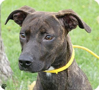Whippet/German Pinscher Mix Dog for adoption in Monroe, Michigan - Autumn - Adoption Pending