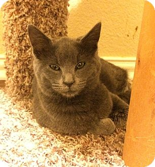 Domestic Shorthair Cat for adoption in Plano, Texas - BETTY - SWEET GRAY GIRL!!!
