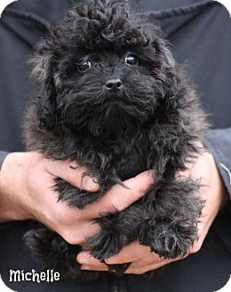 Shih Tzu/Poodle (Miniature) Mix Puppy for adoption in Cranford, New Jersey - Michelle