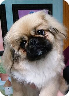 Pekingese Puppy for adoption in Franklin, Tennessee - Magnolia