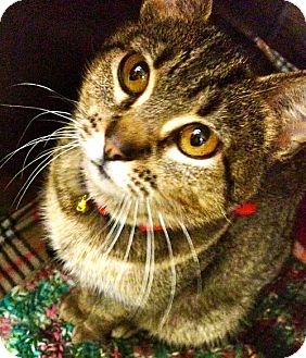 Domestic Shorthair Cat for adoption in Detroit Lakes, Minnesota - Ma