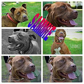 Pit Bull Terrier Mix Dog for adoption in ROME, New York - Sammie