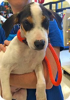 Hound (Unknown Type) Mix Puppy for adoption in East Hartford, Connecticut - Runt IN CT