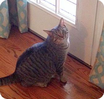 Domestic Shorthair Cat for adoption in Huntsville, Alabama - Charlie Kitty