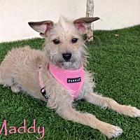Adopt A Pet :: Maddy - San Diego, CA