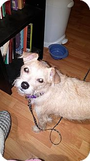 Terrier (Unknown Type, Small) Mix Dog for adoption in Scottsdale, Arizona - Lula