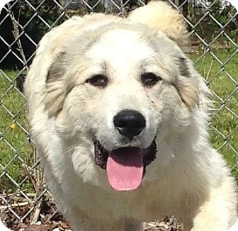 Great Pyrenees Puppy for adoption in Albany, New York - Higgins