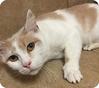 Domestic Shorthair Cat for adoption in Parma, Ohio - Silly