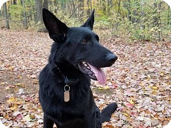 German Shepherd Dog Mix Dog for adoption in Northville, Michigan - Jerry **Special Needs**
