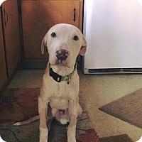 Adopt A Pet :: Ash - bridgeport, CT