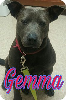 Labrador Retriever/Pit Bull Terrier Mix Dog for adoption in Union City, Tennessee - Gemma