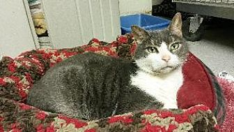Domestic Shorthair Cat for adoption in Queenstown, Maryland - Shady
