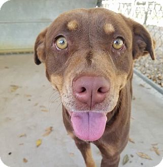 Labrador Retriever/Mixed Breed (Medium) Mix Dog for adoption in Umatilla, Florida - Sissy