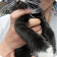 Domestic Shorthair Kitten for adoption in Brooklyn, New York - Penny Wee Tuxedo Kitten