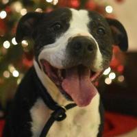 American Pit Bull Terrier Mix Dog for adoption in Aiken, South Carolina - Major