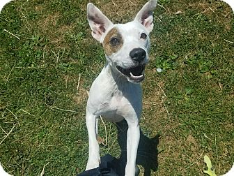 Jack Russell Terrier Mix Dog for adoption in Moberly, Missouri - Mercedes