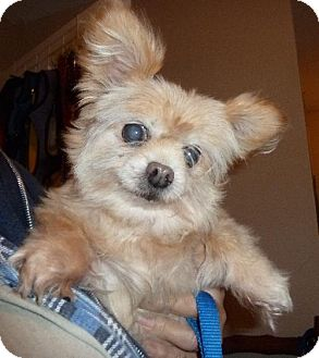 Pomeranian/Chihuahua Mix Dog for adoption in Ashland, Virginia - Diva-ADOPTED!!!