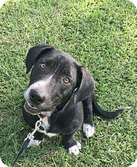 Basset Hound/Labrador Retriever Mix Dog for adoption in Allentown, Pennsylvania - Louie Armstrong 💚 ADOPTED!