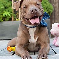Adopt A Pet :: Diesel - Brooklyn, NY