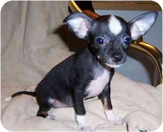 Chihuahua Puppy for adoption in LAKE JACKSON, Texas - Flower