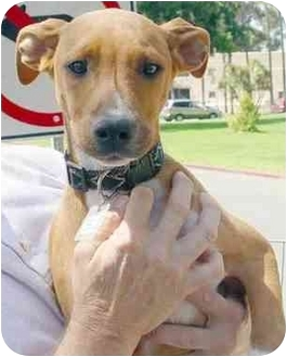 Boxer Mix Puppy for adoption in Vista, California - Fran