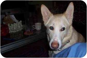 German Shepherd Dog Mix Dog for adoption in Litchfield, Connecticut - Nova