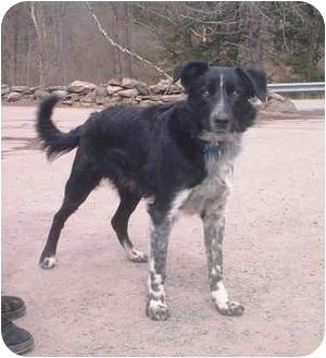 Border Collie Mix Dog for adoption in Honesdale, Pennsylvania - Delta