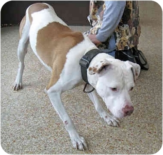 American Staffordshire Terrier/Pit Bull Terrier Mix Dog for adoption in Ottawa, Illinois - Chance