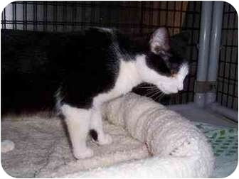 Domestic Shorthair Cat for adoption in San Diego/North County, California - Isabel
