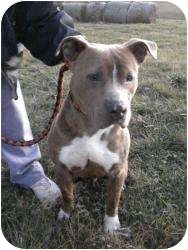 American Staffordshire Terrier Mix Dog for adoption in Shelbyville, Kentucky - Rocky II