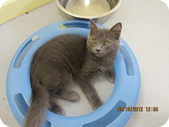 Domestic Longhair Kitten for adoption in Bunnell, Florida - Smokey