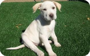 Labrador Retriever/Shar Pei Mix Puppy for adoption in Tustin, California - Olive Oil
