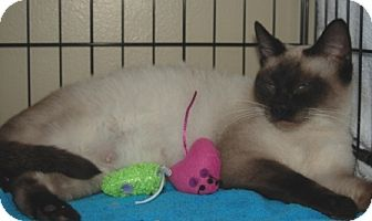 Siamese Cat for adoption in Houston, Texas - Harley