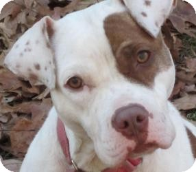 Pit Bull Terrier Mix Dog for adoption in Bloomfield, Connecticut - American Girl