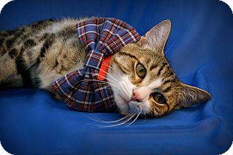 Domestic Shorthair Cat for adoption in Green Bay, Wisconsin - Fabio