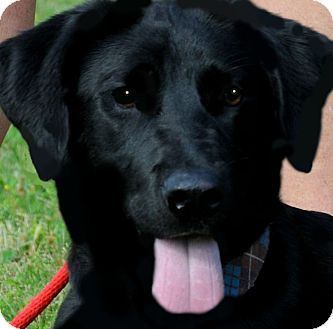 "Labrador Retriever Dog for adoption in Wakefield, Rhode Island - ANDY(OUR LAB ""PETITE"")"