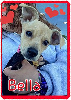 Chihuahua Mix Puppy for adoption in Miami, Florida - Bella