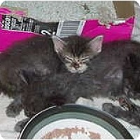 Adopt A Pet :: 4 tiny gray kittens - Westfield, MA