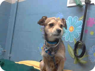 Border Terrier Mix Dog for adoption in Simi Valley, California - Beau